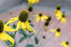 Conflower jaune Photos libres de droits