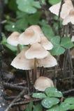 Confluens di Gymnopus dei funghi Fotografia Stock Libera da Diritti
