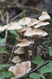 Confluens di Gymnopus dei funghi Immagini Stock Libere da Diritti
