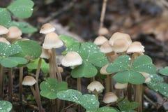 Confluens di Gymnopus dei funghi Immagini Stock