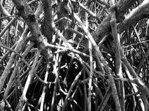 Confluse av Roots av mangroven, Songkhla, Thailand Royaltyfri Bild