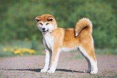 Conformación del perrito de Akita Inu Perro peludo rojo en un fondo verde fotos de archivo libres de regalías