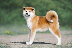 Conformación del perrito de Akita Inu Perro peludo rojo en un fondo verde imagenes de archivo
