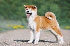 Conformación del perrito de Akita Inu Perro peludo rojo en un fondo verde imagen de archivo libre de regalías