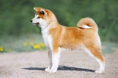 Conformación del perrito de Akita Inu Perro peludo rojo en un fondo verde imágenes de archivo libres de regalías