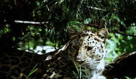 Conformation de léopard d'Amur Photographie stock libre de droits