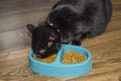 A conformidade com a dieta do gato, o gato come o alimento saudável e saudável, conceito dos cuidados dos animais de estimação fotos de stock royalty free