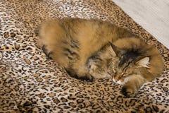 Confortos de criatura: Pixiebob Cat Asleep no cobertor do leopardo foto de stock royalty free