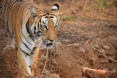 Confront with the majestic Royal Bengal tiger at Tadoba tiger reserve, India stock photo