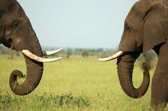 Confrontação do elefante Foto de Stock Royalty Free