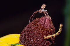 Confrontación entre la araña y el Inchworm Foto de archivo libre de regalías