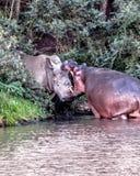 Confrontation d'hippopotame et de rhinocéros image libre de droits