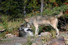 Confrontation de loup de bois de construction - au loin Photo stock