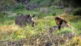 Confrontation de rhinocéros et de lion Image libre de droits