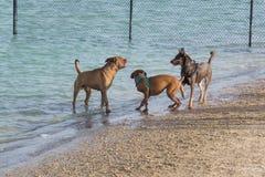 Confrontation douce à une plage en parc de chien Photographie stock libre de droits