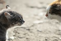 Confrontation of two aggressive cats facing each other, hiss at Stock Photos