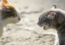 Confrontation of two aggressive cats facing each other, hiss at Stock Photography