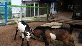 Confrontation of Two Goats. Wood Goat Year Feb 19, 2015 - Feb  7, 2016 stock video