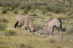 Confrontation. Two male Oryx in a mock fight over a territory in the Kgalagadi Transfrontier Park Stock Photography