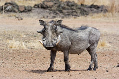 Confrontation. A warthog with large tusks facing the camera Royalty Free Stock Images
