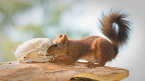 Confronting fear. Close up of female red squirrel with a skeleton animal head Royalty Free Stock Photo
