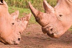 Confronto bianco di rinoceronte Immagine Stock