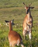 Confronto dei cervi di Whitetail Fotografia Stock