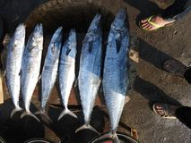 Confronto di dimensione del pesce Immagini Stock