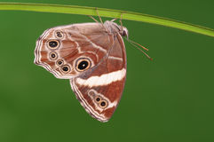 Confusa di BUTTERFLY/Lethe Immagine Stock