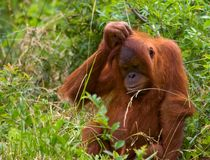 Confused. Photo of an Orangutan looking bewildered and confused Stock Images