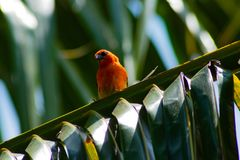 Confused cardinal sitting on green palm tree royalty free stock photography