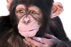 Confused Chimpanzee. Closeup of a Chimpanzee scratching his chin as if he is in thought Stock Photos