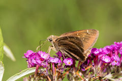Confused Cloudywing butterfly Royalty Free Stock Photography
