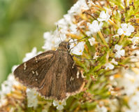 Confused Cloudywing butterfly feeding on flowers Royalty Free Stock Image