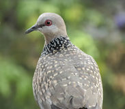 Confused common Indian dove Stock Images