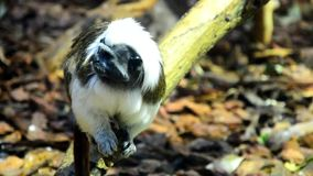 Confused Cotton-top monkey tamarin Saguinus Oedipus looks around stock footage