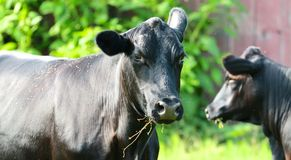 Confused Cow Royalty Free Stock Photos
