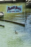 Confused goose. Canada goose entering paddleboat return area Royalty Free Stock Photos