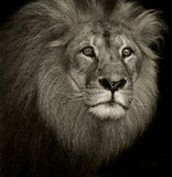 Confused lion Royalty Free Stock Images