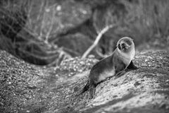 A confused little baby seal. A baby seal look sad and confused by the seaside, probably looking for mummy. Or may be someone disturb its afternoon nap royalty free stock image