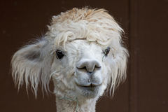 Confused Looking White Alpaca Stock Photo