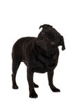 Confused pug. A confused pug and staring Royalty Free Stock Photo