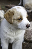 Confused Puppy Looking Around royalty free stock photo