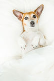 Confused sleepy adorable dog lying on the back on white bedding Stock Images