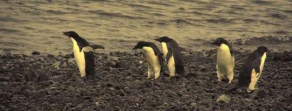 Confusión - pingüinos del adelie no sure adonde ir Foto de archivo