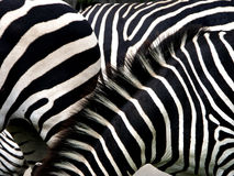 Confusion. Zebra stripes used to confuse predators Royalty Free Stock Photos