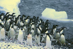 Confusion - startled penguins Royalty Free Stock Photo