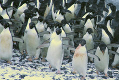 Confusion - startled penguins Stock Image