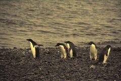 Confusione - pinguini del adelie non sure dove andare Fotografia Stock