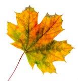 Congé coloré vibrant d'érable d'automne (feuille), fond d'isolement et blanc image libre de droits
